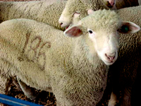 lamb number 186
